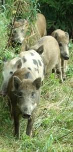 Wildschweine in Nachbars Garten
